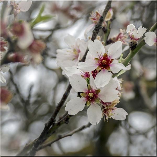 Almond Blossom by vivdy