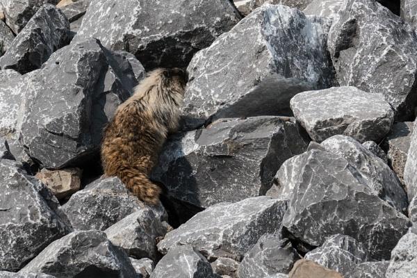Hoary Marmot by StrayCat