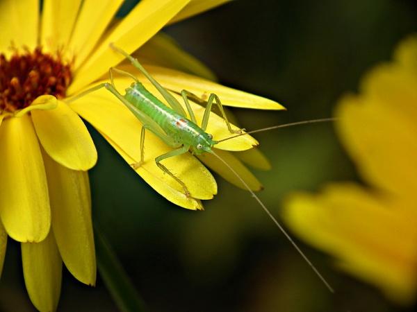 Grasshopper by michelle30