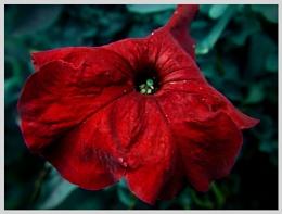 RED PETUNIA .