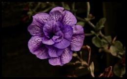 PETUNIA. PURPLE FLOWER.
