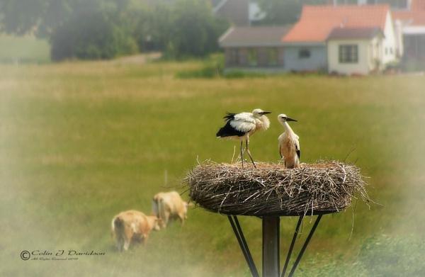 Nesting Storks by colijohn