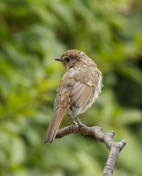 Juvenile Robin by ali63