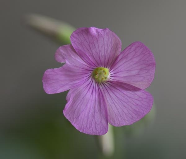 Shamrocks produce flowers by cmg2000