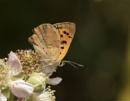 Small Copper  Lycaena phlaeas by ade123