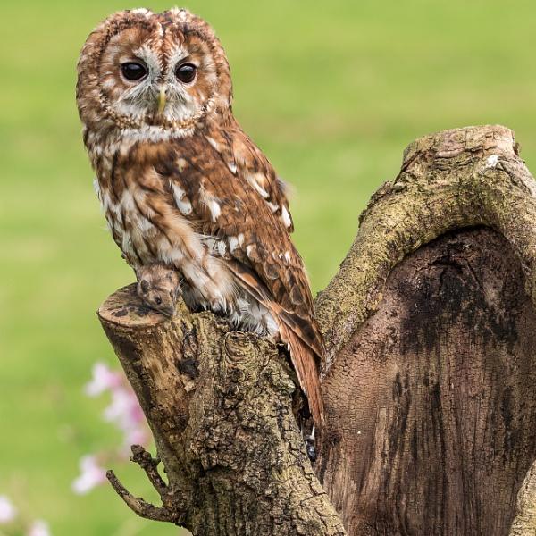 A Tawny Owl by RobertTurley