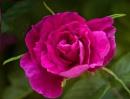 Rosarie de L'Hay by taggart