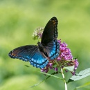 Red-spotted Purple by taggart