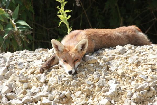 Dog fox cub sunbathing by Lencollard
