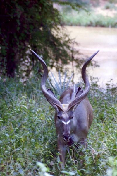 Greater Kudu by Spring2bok