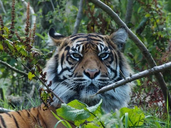 Tiger Tiger by DaveRyder