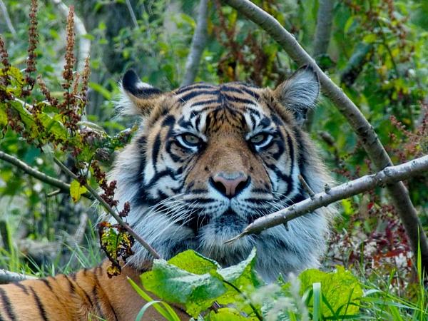 Tiger 2 by DaveRyder