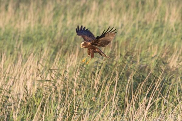 Marsh Harrier by nobby1