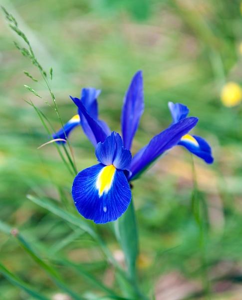 Blue-Yellow Iris by NevJB