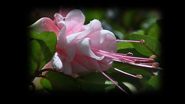 Pink Delight by IreneClarke