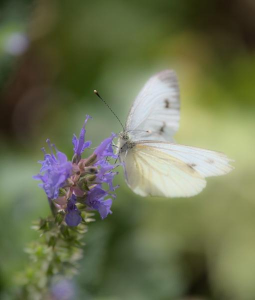 Soft butterfly by EllerySneed