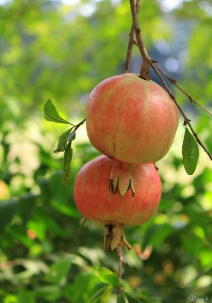 Pomegranates by SHR