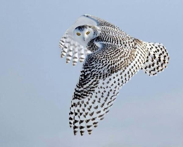 Owl by Pieterjt007