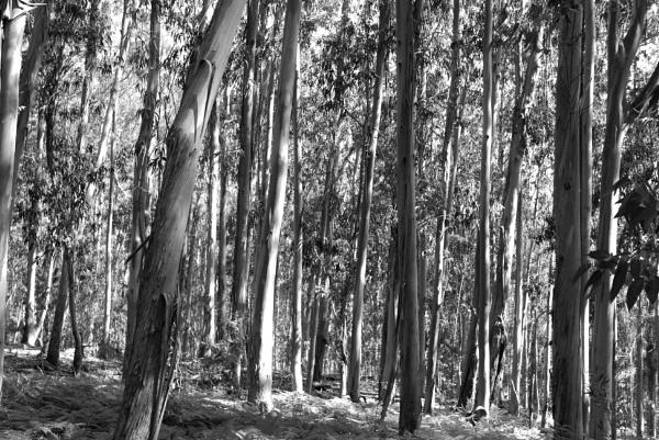 Eucalyptus Forest, Illas Cíes, Galicia by tonycullen