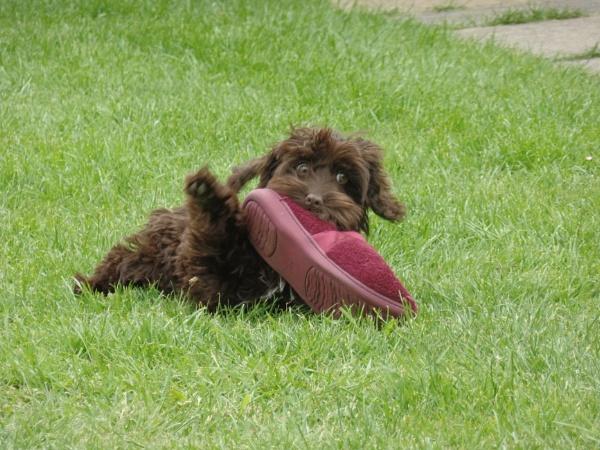 A Cockapoo chewing slipper