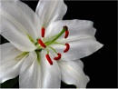 Casa Blanca Lily by dven