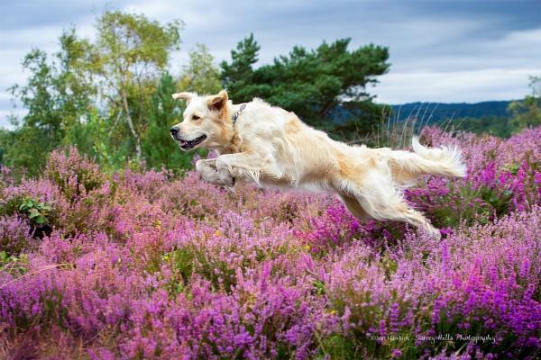 Golden Retriever by SurreyHillsMan
