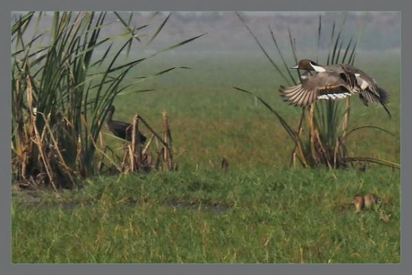 Eurasian Pintail by prabhusinha