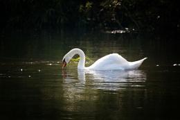 Photo : swan
