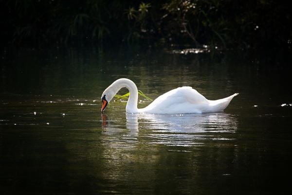 swan by stevegilman