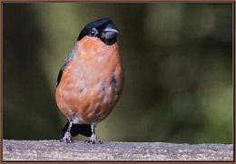 Photo : Bullfinch