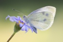 Small White by SWMahy