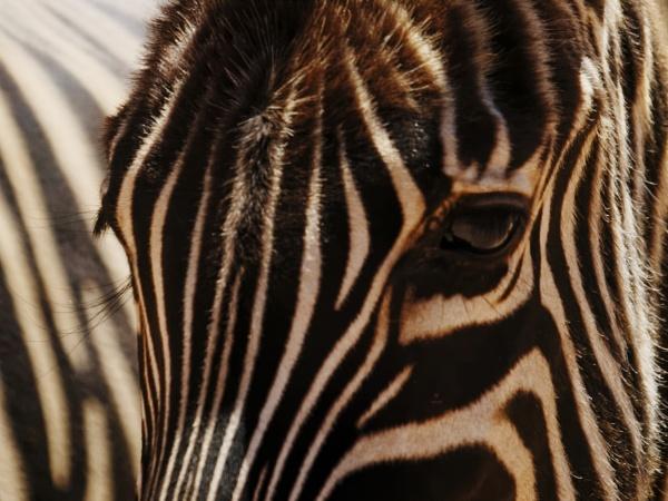 Zebras by Michaelr205