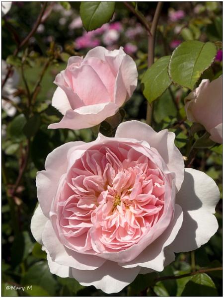 English Rose by marshfam19