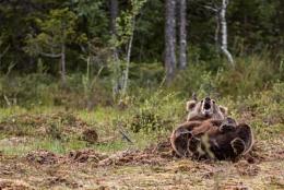 European Brown Bear cub, having fun