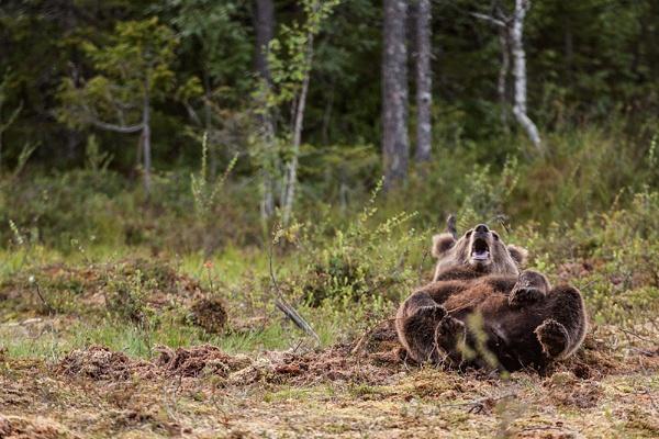 European Brown Bear cub, having fun by rontear