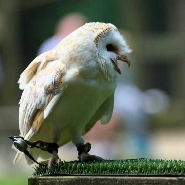 Barn Owl (Tyto alba) by Phil_Bird