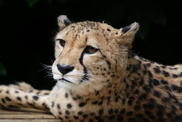 Cheetah by iNKFIEND
