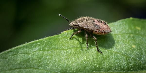 Shield Bug by Dixxipix
