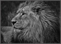 Mono portrait of a lion