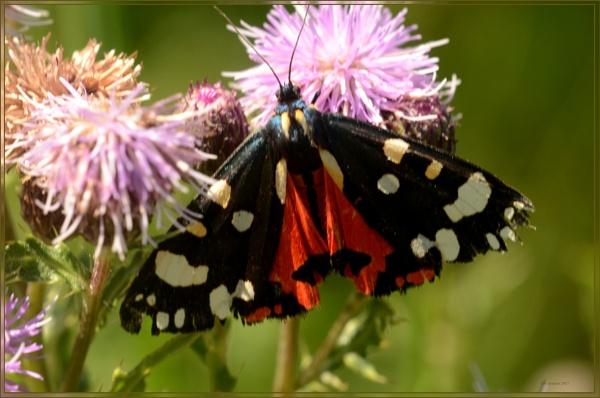 scarlet tiger moth by bobspicturebox