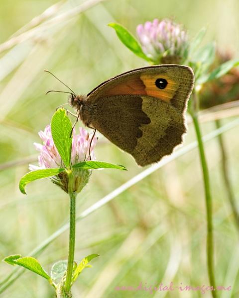 Meadow Brown by Alan_Baseley