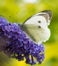 Large White by jasonrwl