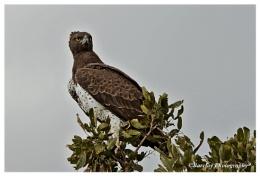 Martial Eagle Kruger