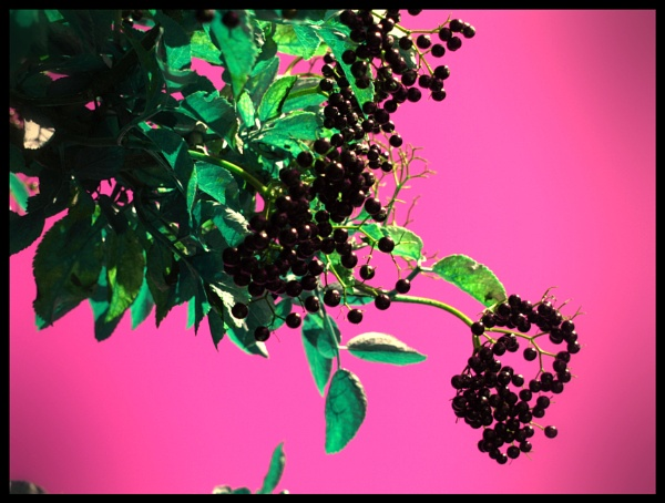 ELDERBERRY by kojack
