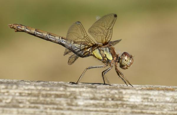 Female Common Darter by ali63