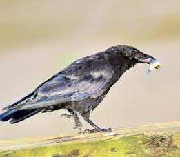 Crow  Fish