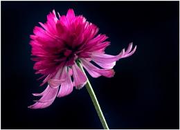 Echinacea purpurea 'Pink Double Delight '