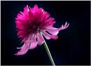 Echinacea purpurea 'Pink Double Delight ' by capto