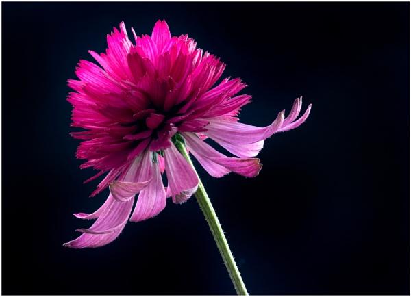 Echinacea purpurea \'Pink Double Delight \' by capto