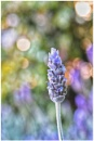 The lavender garden by ColleenA